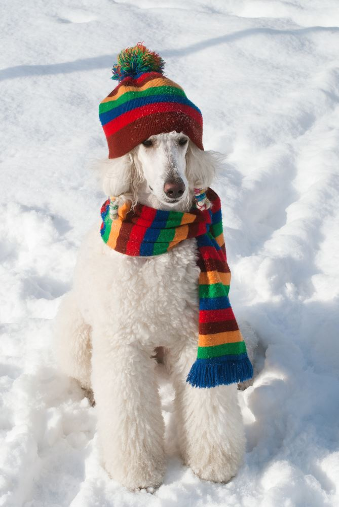 White poodle wearing hat and scarf in the snow