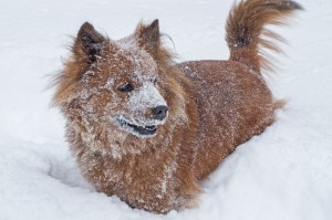 Small brown dog covered in snow